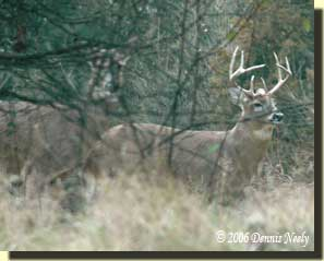 An 8-point buck half-hidden behind a doe