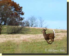 A nice buck running for the cedar grove