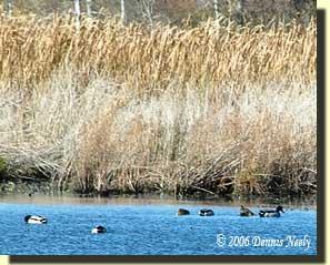 Mallard ducks feeding on the River Raisin