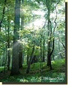 Morning sun streaks illuminate a lush hardwood forest
