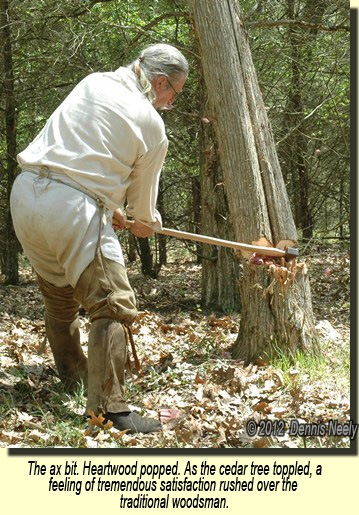 A red cedar tree begins to fall, cut by a traditional woodsman's ax.