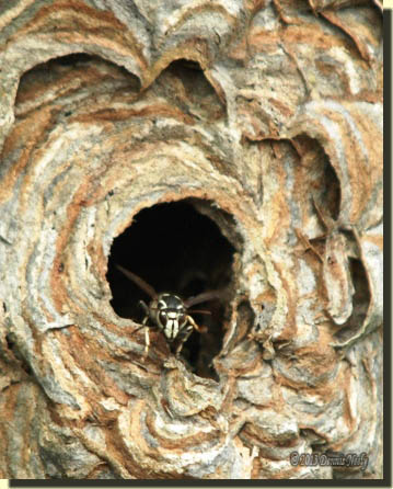 A bald-faced hornet peering from the nest's opening.
